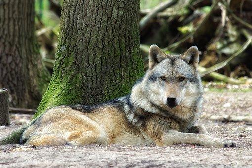 significado lobo animal de poder animales de poder animal totémico animales totémicos