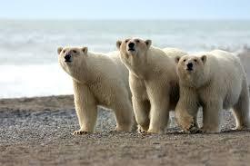 significado oso animal de poder animales de poder animal totémico animales totémicos