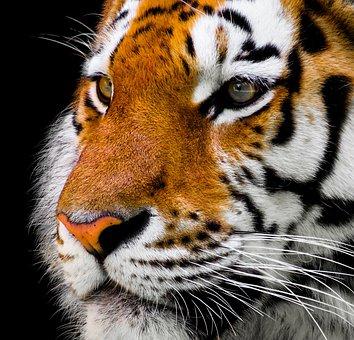 significado tigre animal de poder animales de poder animal totémico animales totémicos